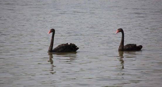 couple of black swan